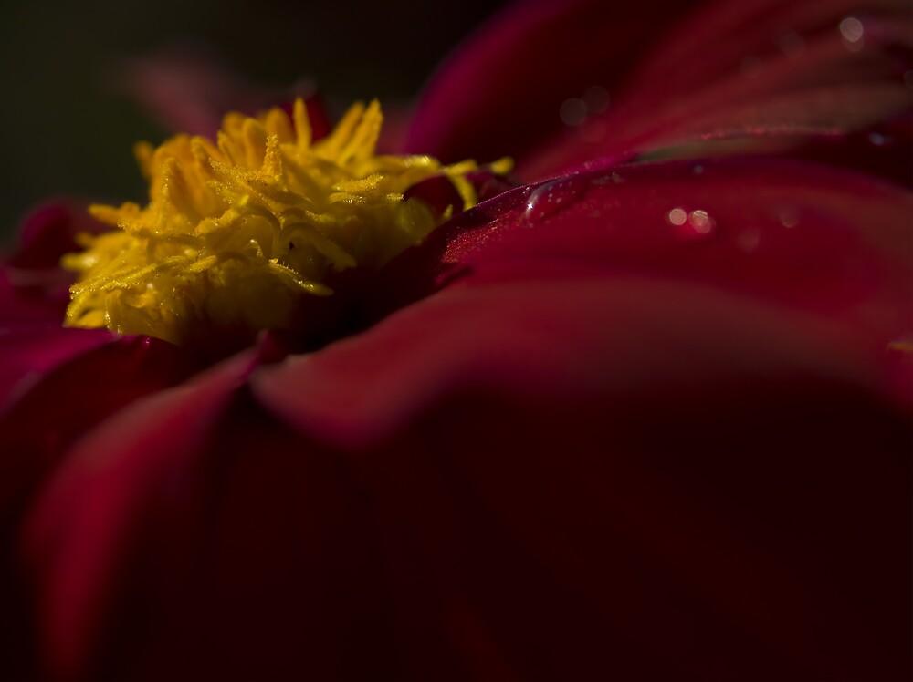 Ruby Red Dahlia by Jenni77