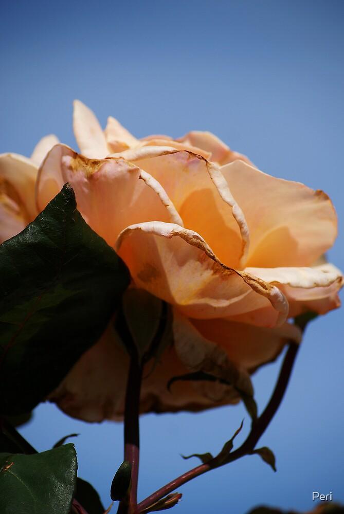 Peach Against Blue Sky by Peri