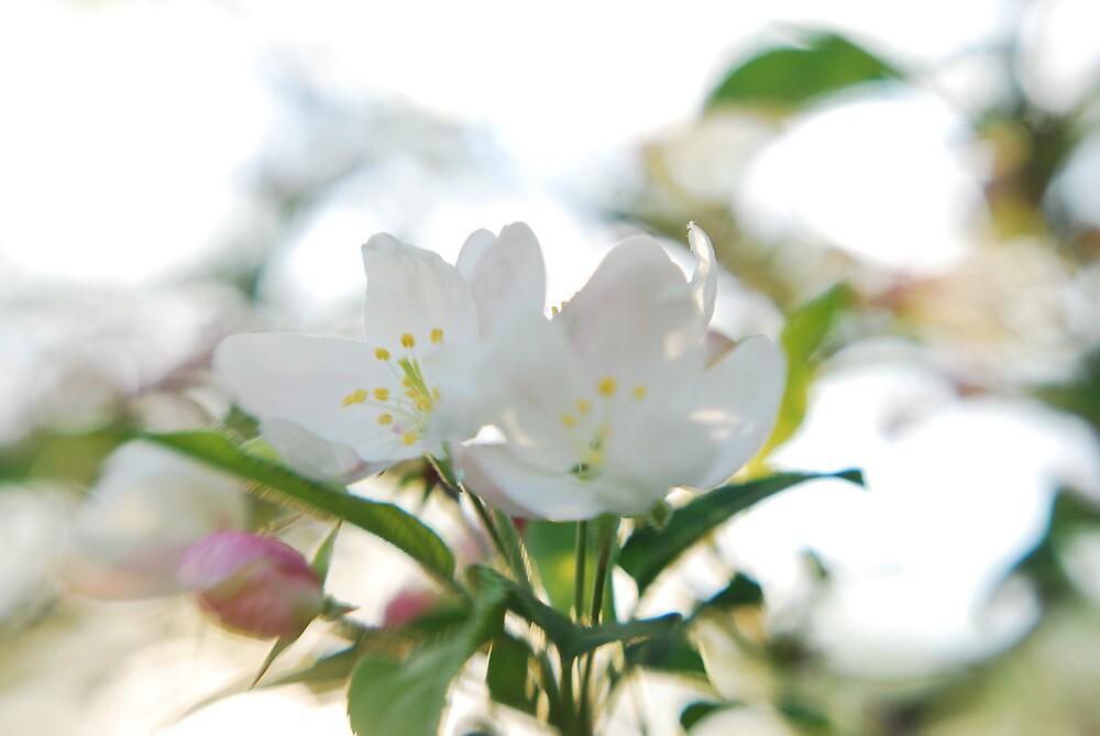 white blossoms by Lynn McCann