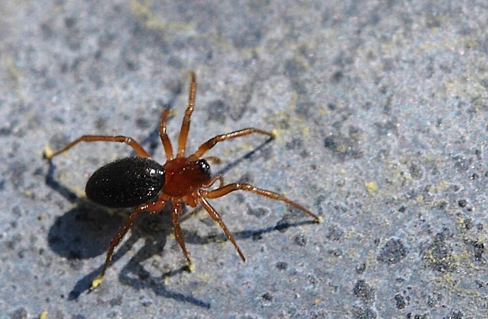 Spider by Thadeus