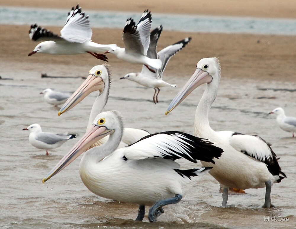 Gulls & Pelicans by MickDee