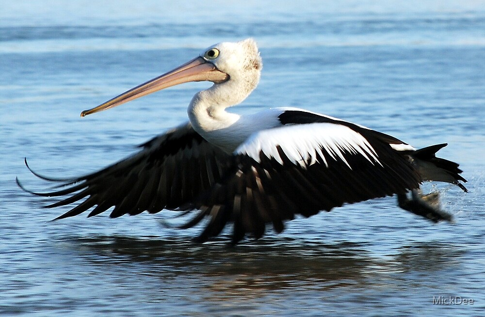 Pelican - skimming the water by MickDee