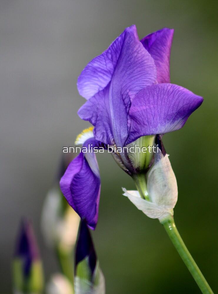 Iris by annalisa bianchetti