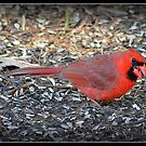 Male Cardinal in Breeding Plumage; in the Spring by Deb  Badt-Covell