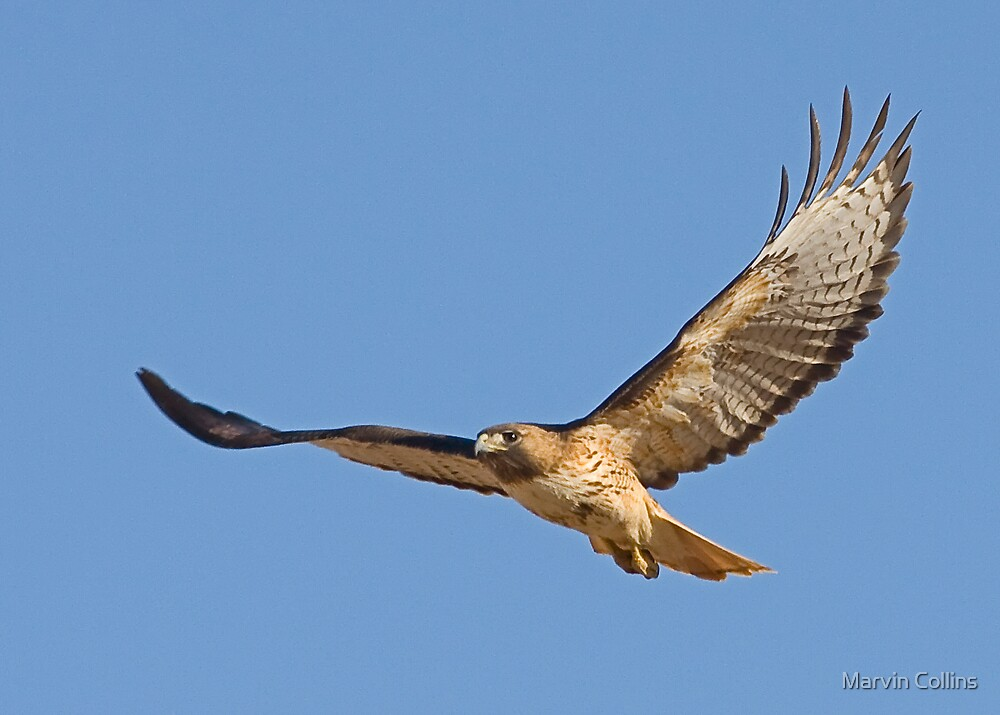 042609 Red Tailed Hawk by Marvin Collins