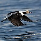 Long Tailed Duck  by wildlifephoto