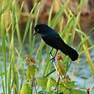 Grackle Hiding In Marsh by Cynthia48