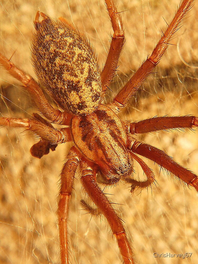House Spider by ChrisHarvey67