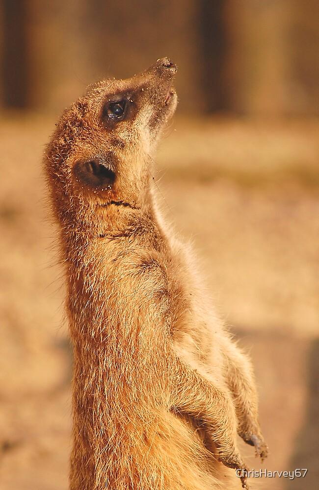 Meerkat by ChrisHarvey67