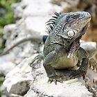 Iguana, Curacao by Kasia-D
