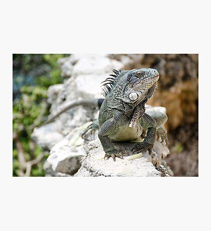 Iguana, Curacao Photographic Print