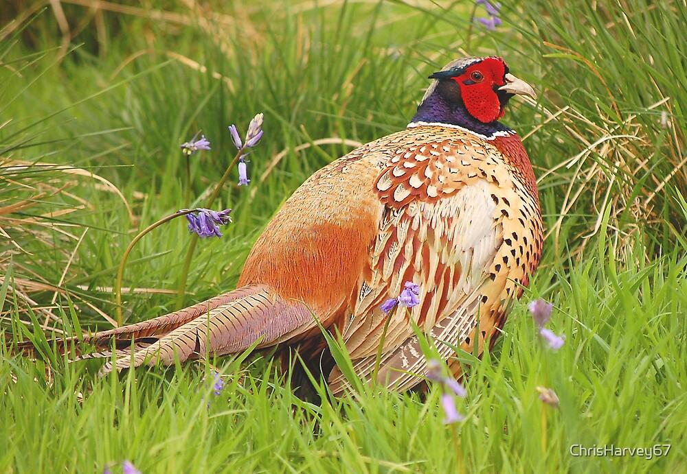Pheasant by ChrisHarvey67