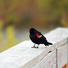 Red Winged Blackbird by Cynthia48