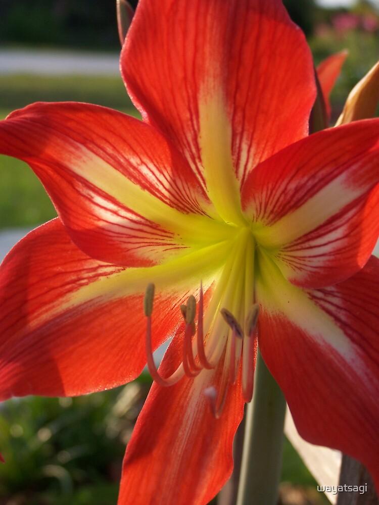 Amaryllis Bloom by wayatsagi