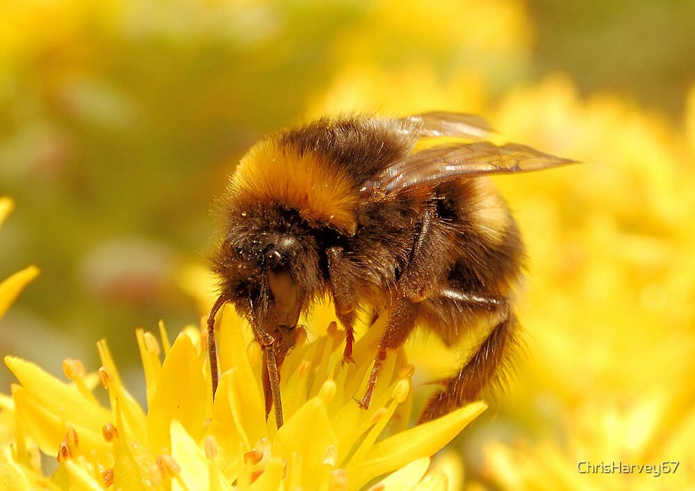 Bumble Bee by ChrisHarvey67