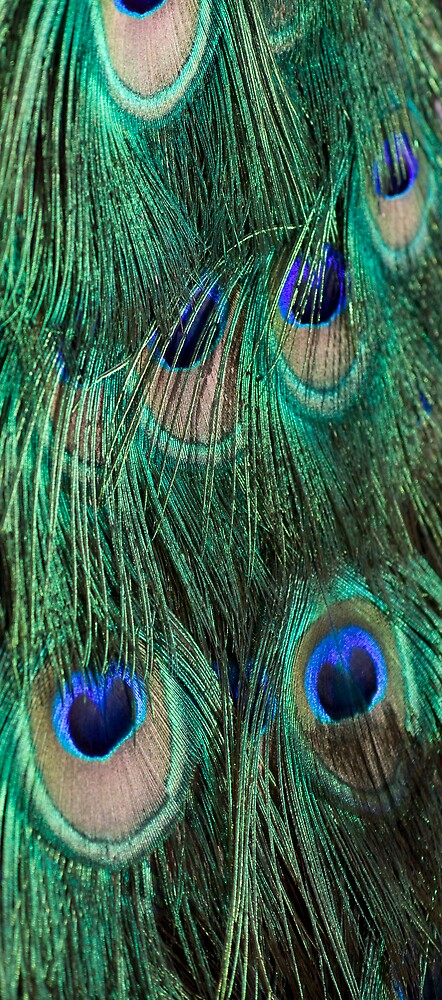 Peacock feathers by lizb