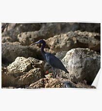 Little Blue Heron Poster