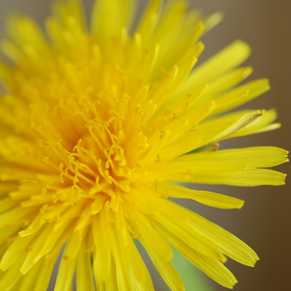 Dandelion Yellow by DeeEss