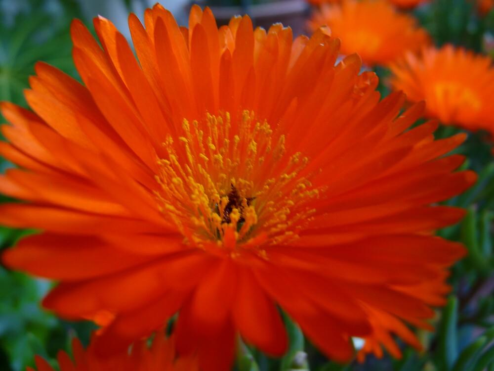 Orange succulent by presbi