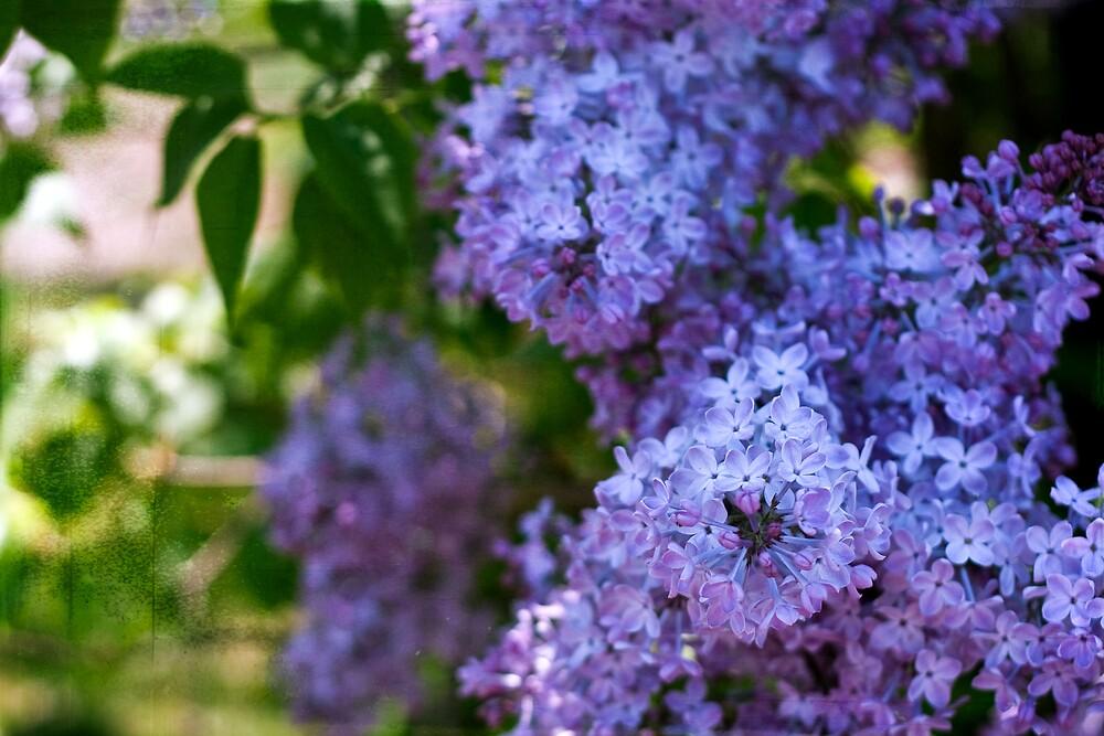 When lilacs last in the dooryard bloom'd.. by jodyangel