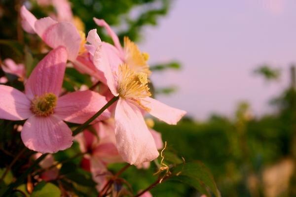 Pink flower by audreyaroha