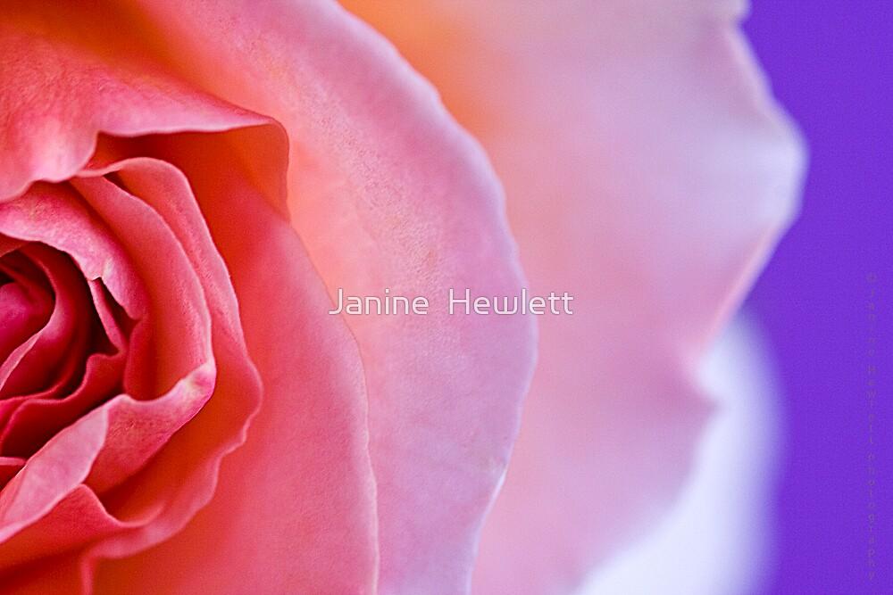 Heart of a Rose.... by Janine  Hewlett