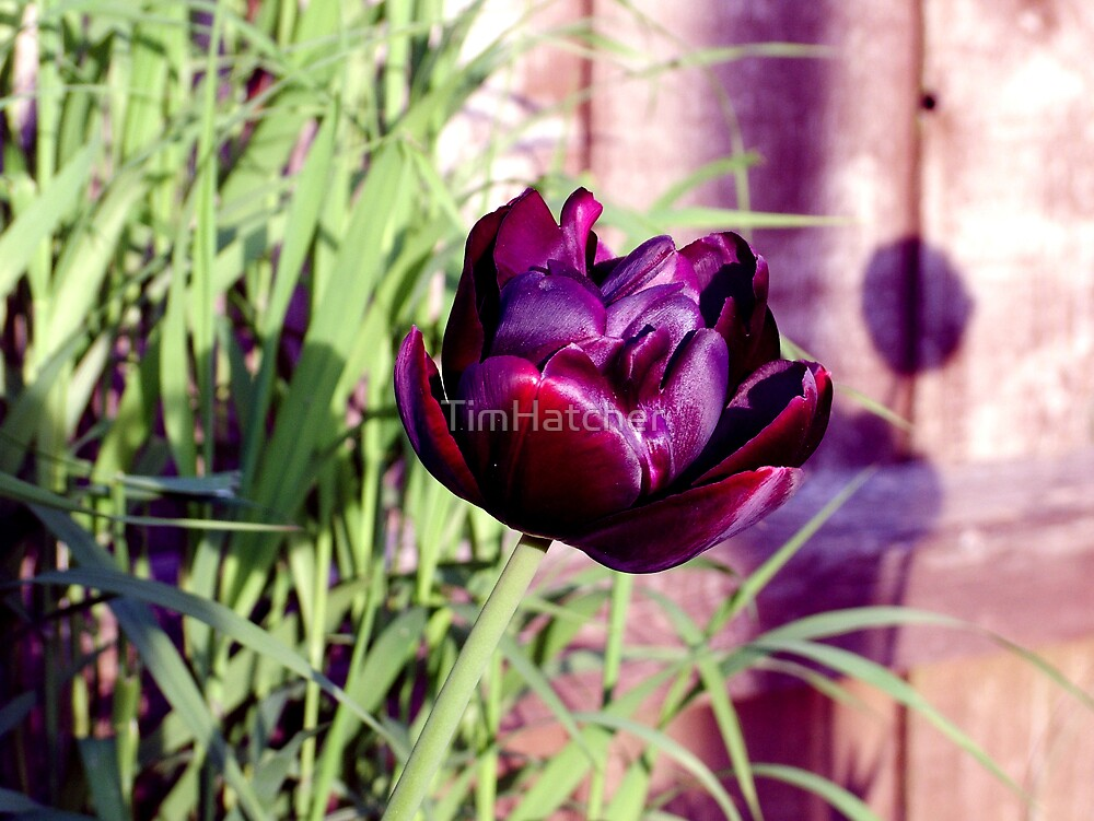 Black Tulip by TimHatcher