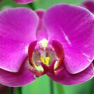 Orchid by Lisa DeLong