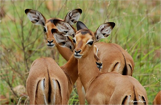 ARE WE SAFE HERE - BABY  IMPALA – Aepyceros melampus melampus - *ROOIBOK* by Magriet Meintjes
