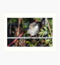 Splendid Fairywren Art Print