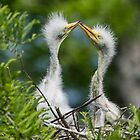 Great White Egret Chicks in the Nest by Bonnie T.  Barry