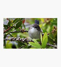 Splendid Fairywren Photographic Print