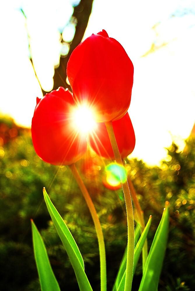 Sun & Tulips by jack8