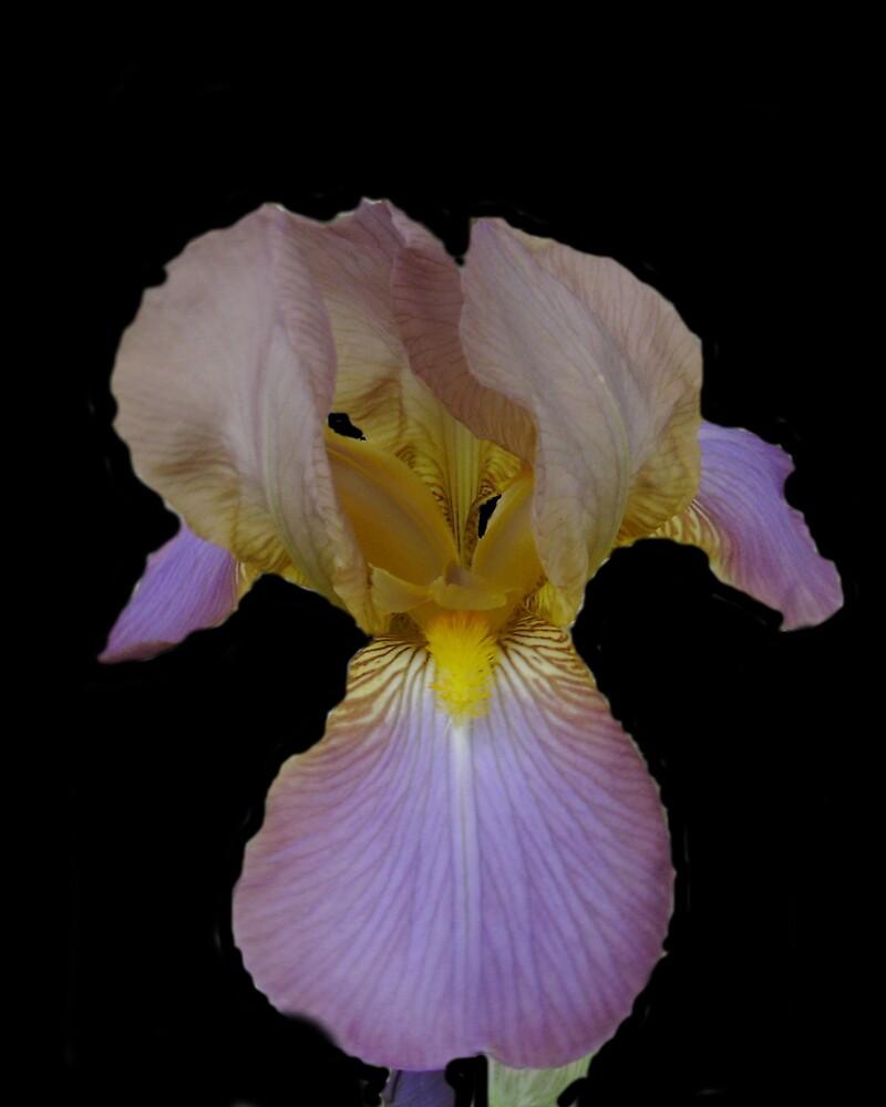 Purple Iris by cmommy5