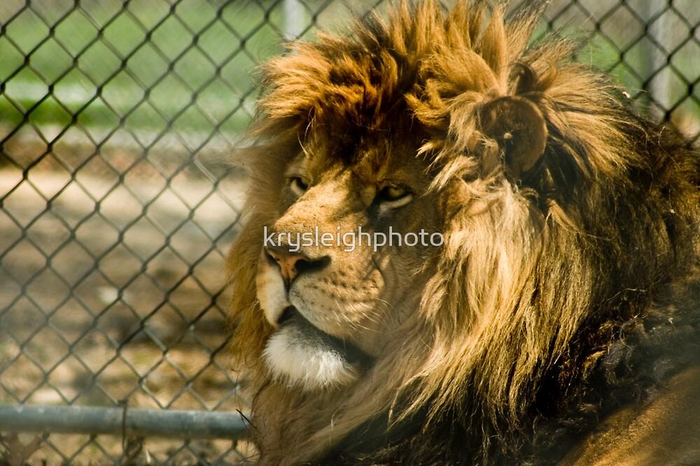 the Lion by krysleighphoto