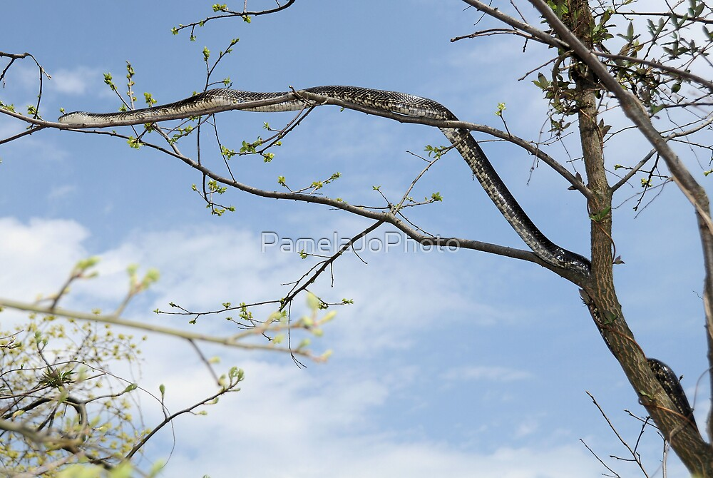 Black Rat Snake by PamelaJoPhoto