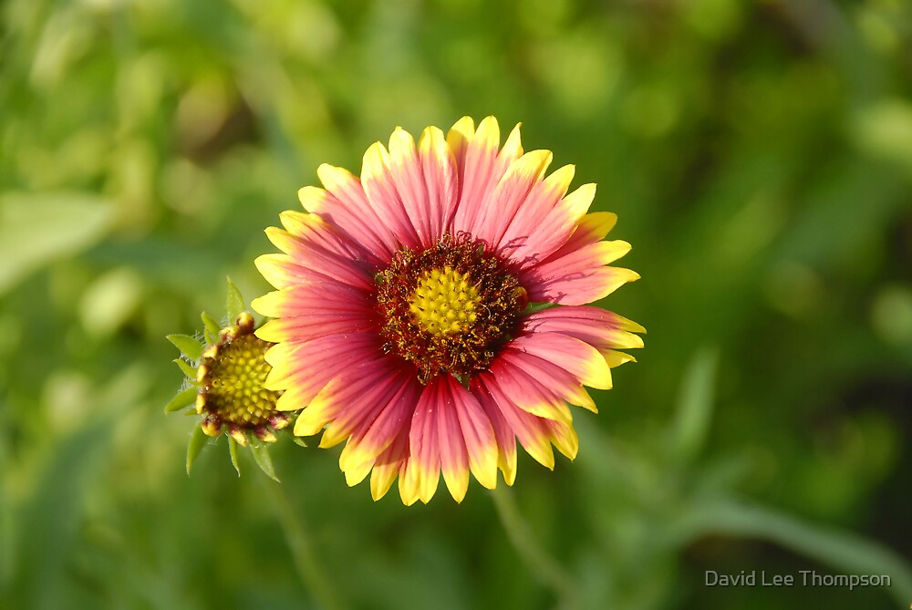 Indian Blanket by David Lee Thompson