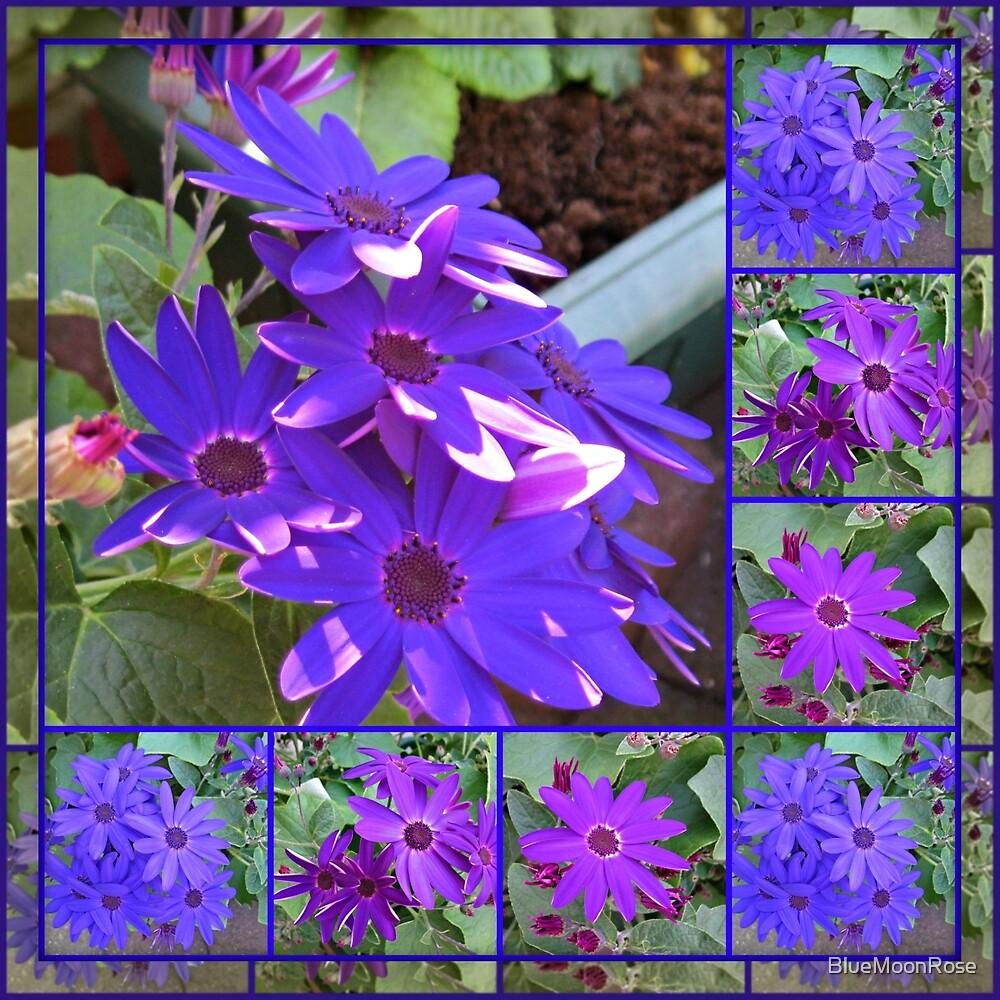 Cinerarias Dreaming - Blumencollage in Lila und Blau von BlueMoonRose