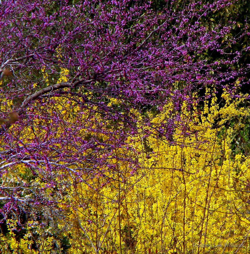 Forsythia and redbud mingling by Rodney Lee Williams