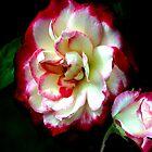 Rote und weiße Rose. von TeAnne