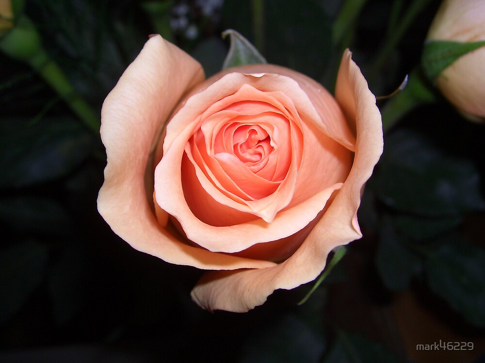 ROSE by mark46229