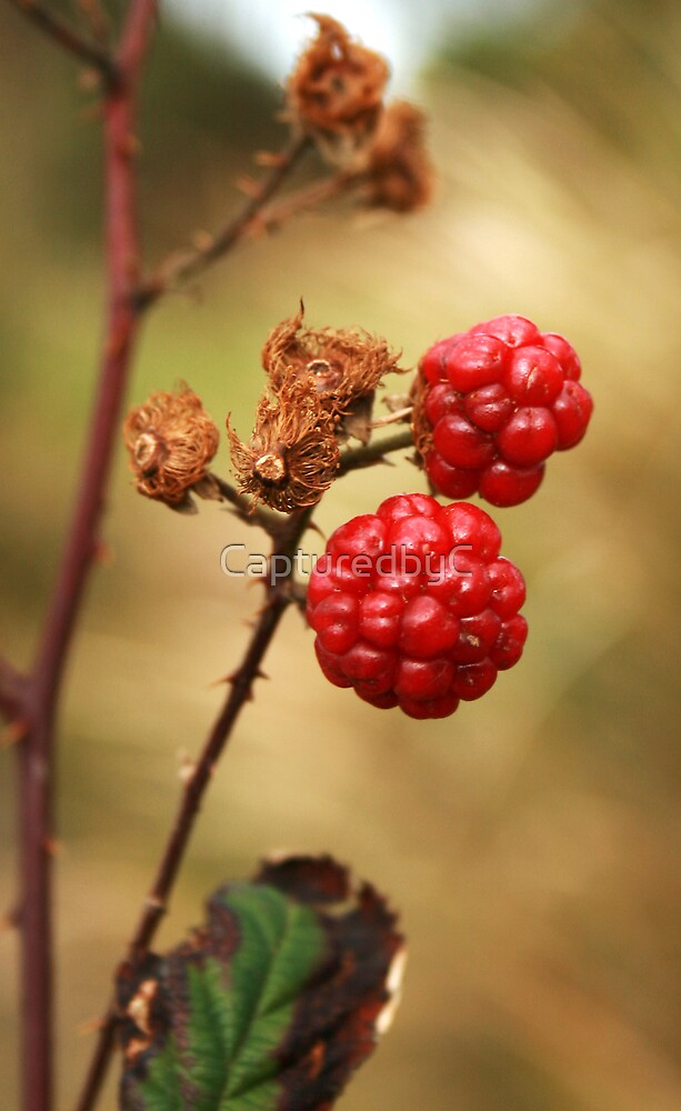 A green blackberry by CapturedbyC