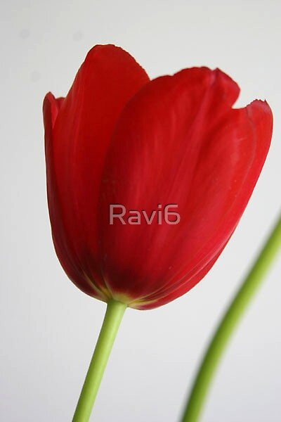 Red Tulip by Ravi6