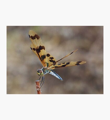 Brown Wing Dragonfly - Kakaud, Nothern territory Photographic Print