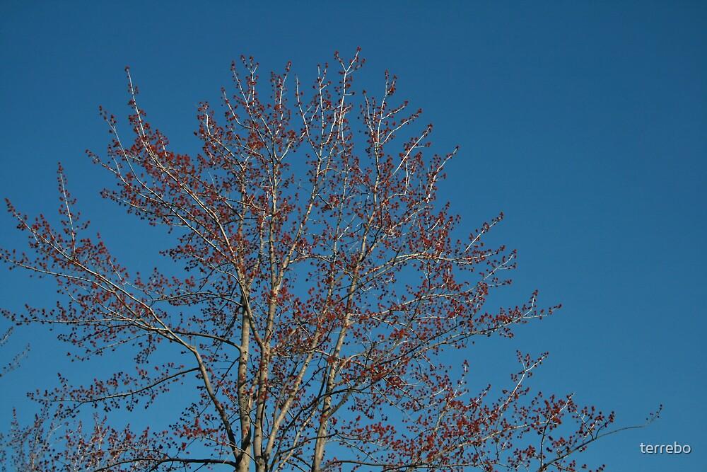 Spring Tree by terrebo