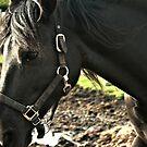 Closeup Of a Black Horse by terrebo