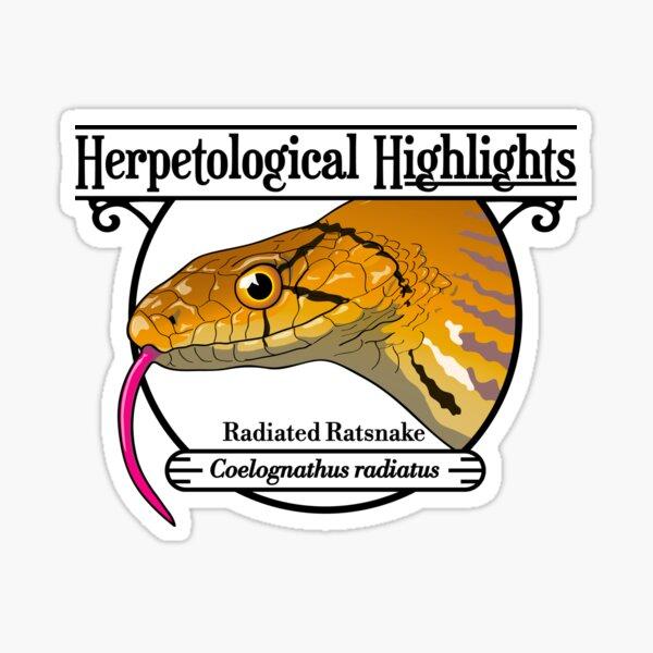 Radiated ratsnake - Coelognathus radiatus Sticker