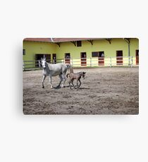 Lipizzaner horse and foal on farm Canvas Print