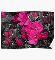 Pink Azeleas Poster
