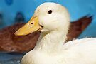 Young White Duck by Sandy Keeton